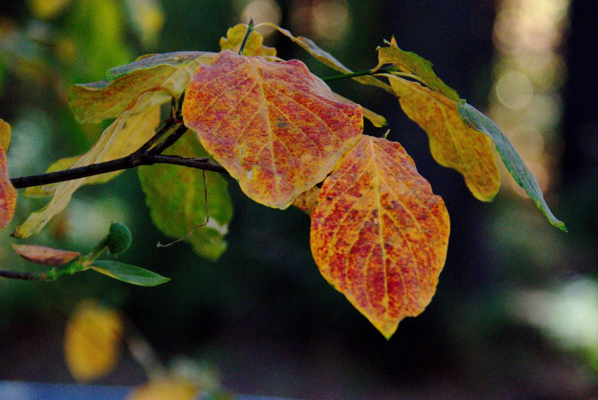 A closeup view of red and gold Dogwood leaves