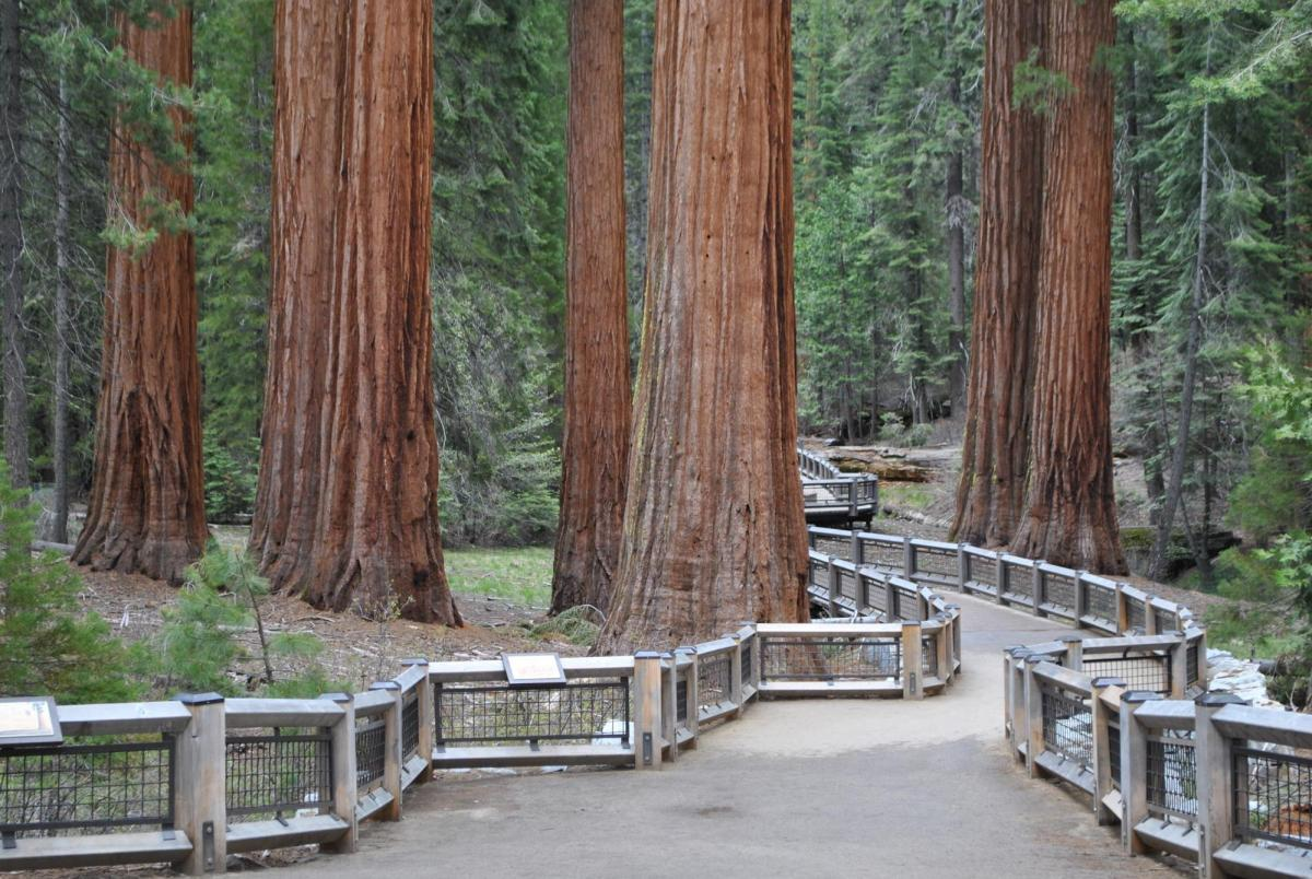 Photo of the walkway between giant Sequoias