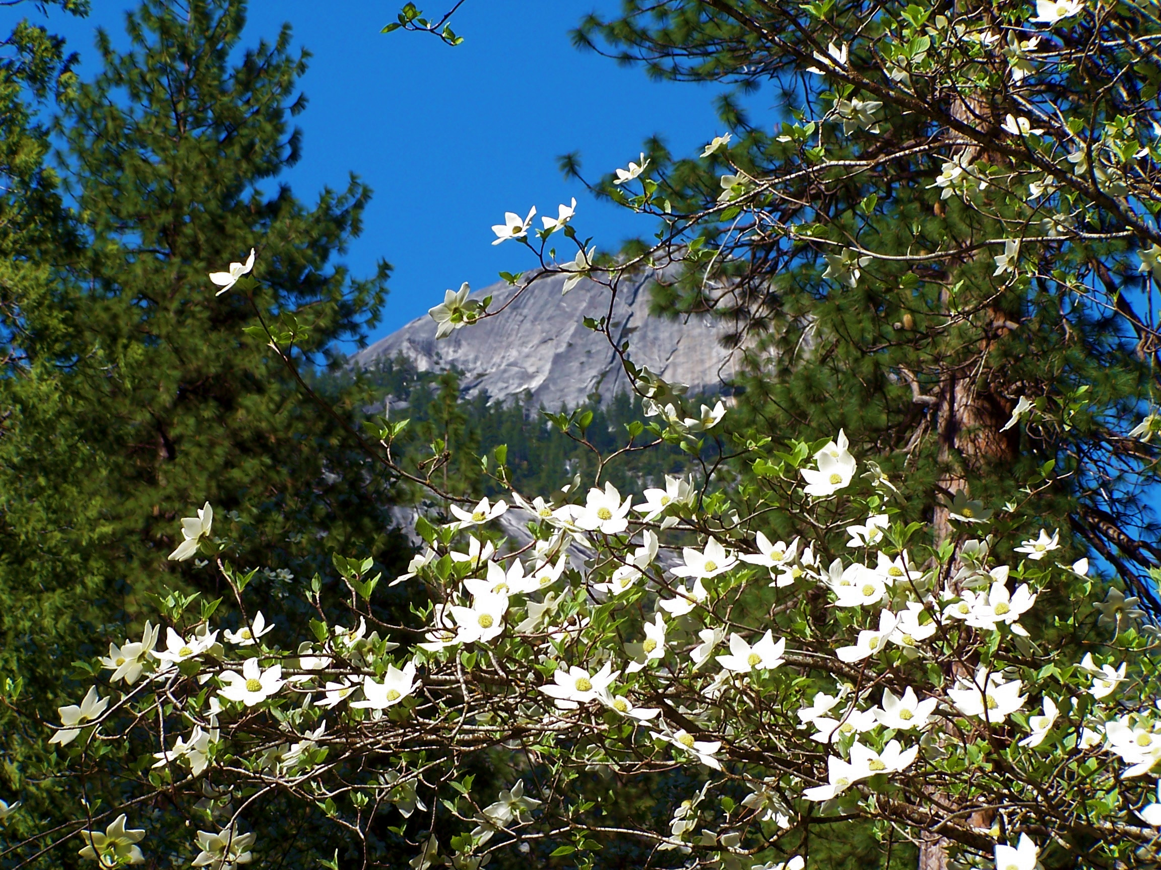 Blooming Dogwood in sunshine