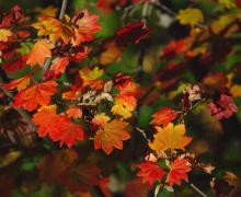 Image of bright red and gold fall leaves