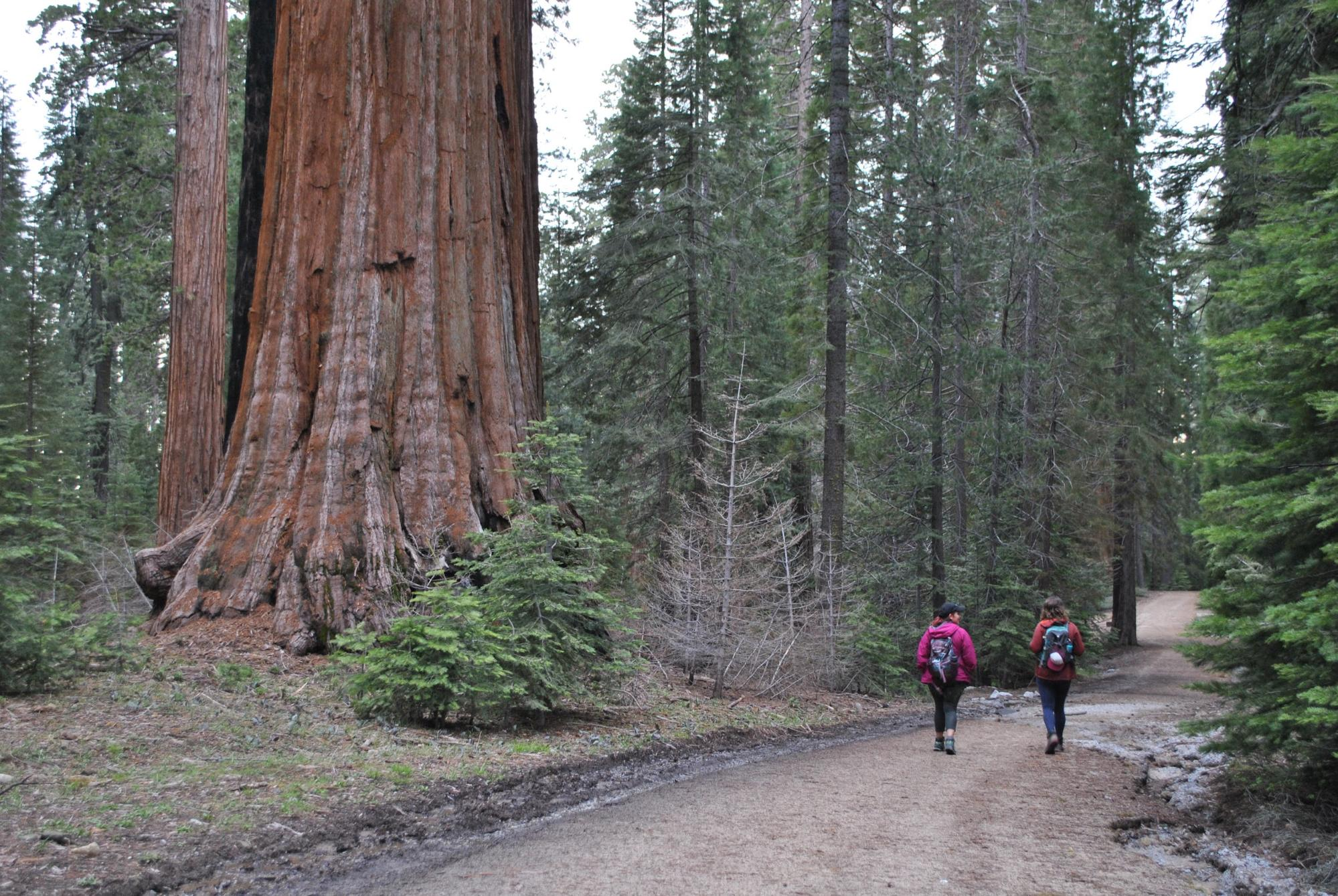 Hikers walk past majestic giant Sequoias